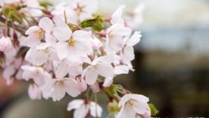 4月27日、函館でサクラの開花宣言!