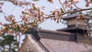 【開花宣言】函館・五稜郭公園と函館公園の桜状況(2019/4/24)