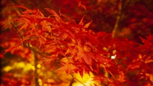 【2020/10/23~11/8】北斗紅葉回廊 (北斗市)